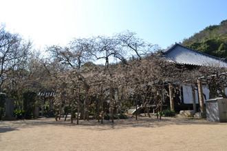 大宝寺_乳母桜20120329_01.JPG