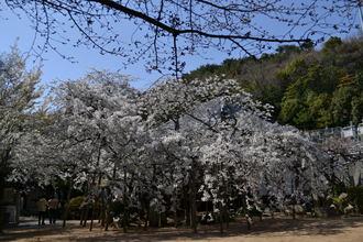 乳母桜01.JPG