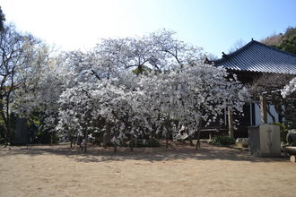 乳母桜04.JPG
