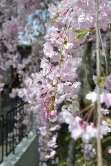 枝垂桜20120415.JPG